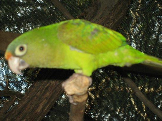 Cafe El Manglar: Resident parakeet