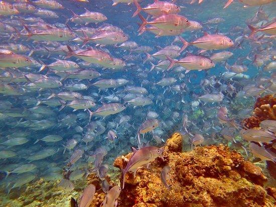 Scuba Junkie Hotel & Diving: Jack Fish!
