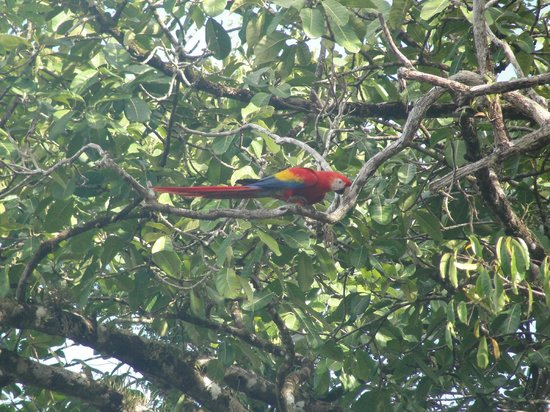 Aguila de Osa: Macaws -saw these several times.
