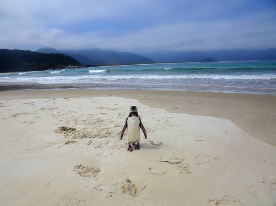Aventureiro Beach: Magellanic penguin at Praia do Aventureiro