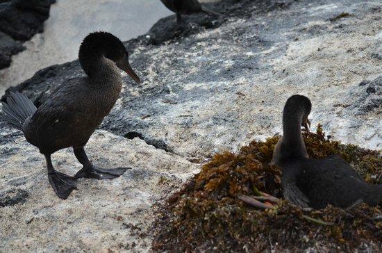 Administracion Turistica del Parque Nacional Galapagos: Flightless cormorants