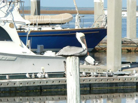 Blue Heron Inn - Amelia Island: Pelican in repose