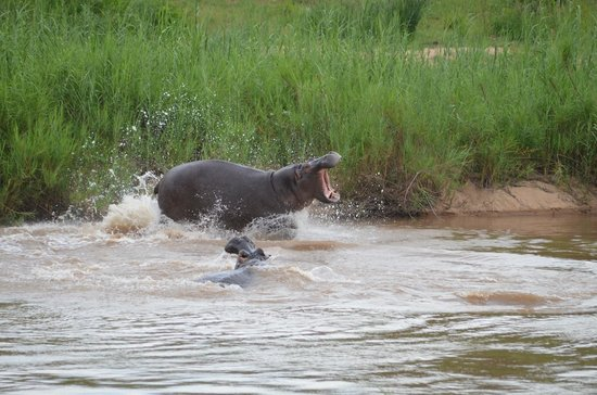 Sabie River Bush Lodge: hippo