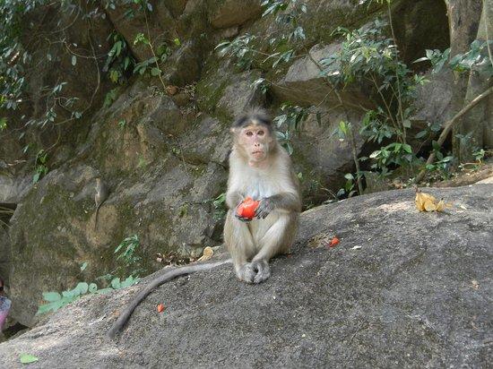 Dudhsagar Falls: Monkey peeling a tomatoe