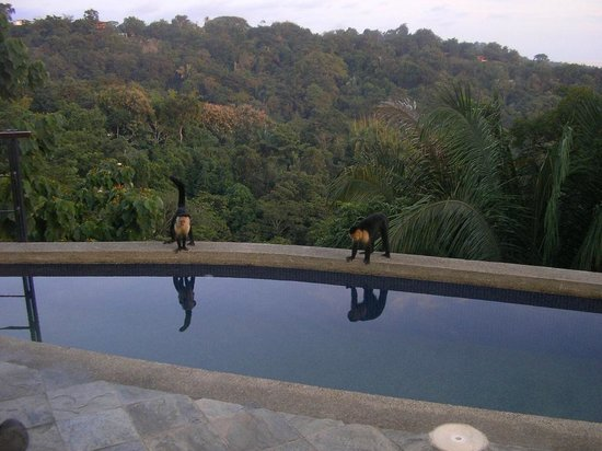 Villa Perezoso: capuchin monkeys hanging out by the pool