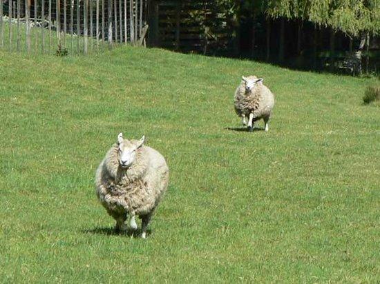 Mokoia Downs Estate B&B: Very friendly sheep...