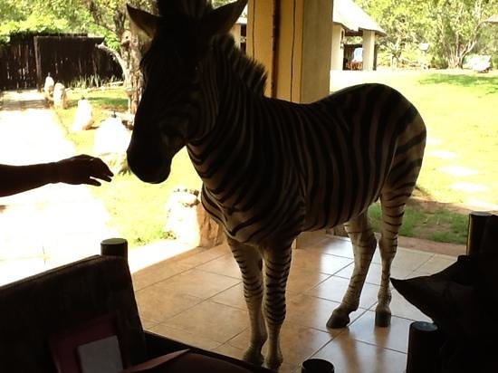 Royal Kruger Lodge: Feeding zebra on the porch of the lodge.