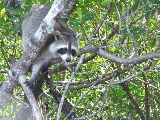 Everglades City Airboat Tours : Swamp Monkey