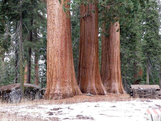 Giant Forest: Trío como columnas