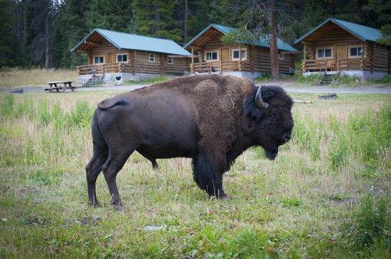 Pine Edge Cabins: Buffalo Cabin Visit