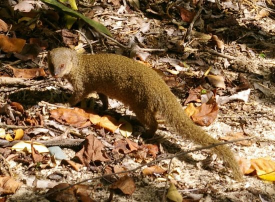 Stonegarden Cottage: Mongoose at Little Lameshur Bay