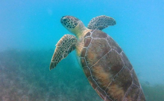 Stonegarden Cottage: Turtle heading for the surface at Maho Bay