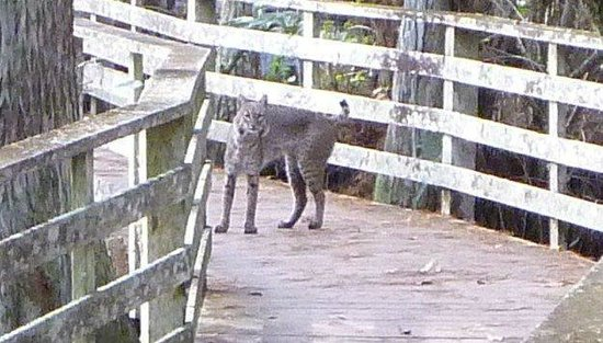 Corkscrew Swamp Sanctuary : Florida Bobcat