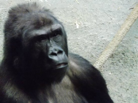 Brookfield Zoo: Gorilla