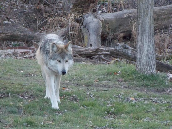 Brookfield Zoo: Mexican Wolf