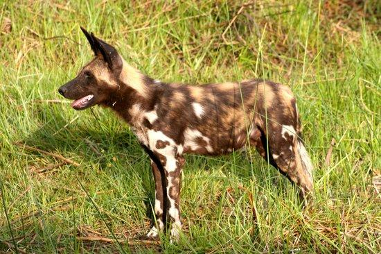 Chitabe Camp: Wild Dog