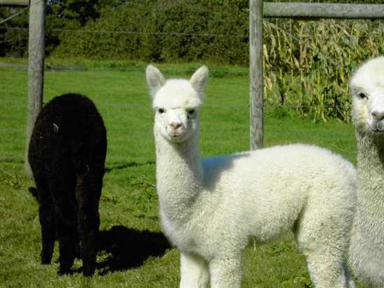 "Waldoboro, ME: Baby Alpacas are called ""crias"""