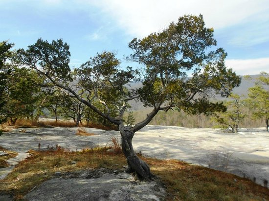 Stone Mountain State Park: Tree on Wolf Rock