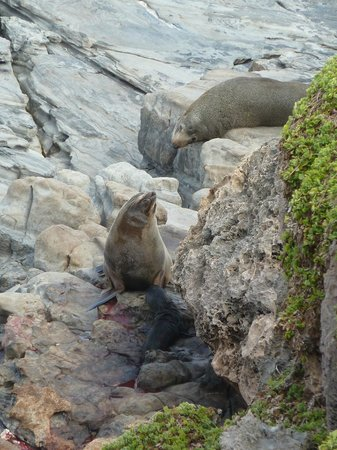 Kangaroo Island Gateway Visitor Information Centre: This mother has just given birth - Baby Seal nearby - Admiral's Arch