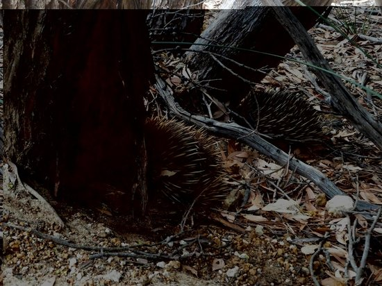 Kangaroo Island Gateway Visitor Information Centre: Two echidnas  hiding at the base of the tree.