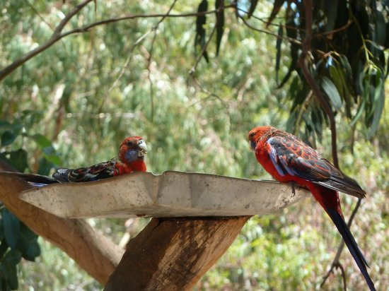 Kangaroo Island Gateway Visitor Information Centre: Parrots feeding at the Koala Walk