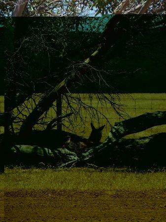 Kangaroo Island Gateway Visitor Information Centre : Kangaroos resting in the shade