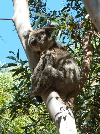 Kangaroo Island Gateway Visitor Information Centre : Koala at Flinders Chase National Park