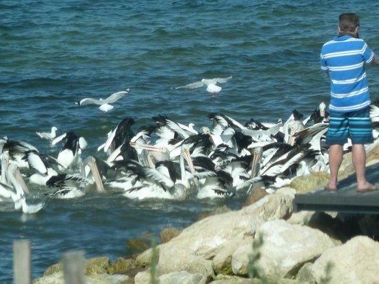 Kangaroo Island Gateway Visitor Information Centre : Pelican Feeding at Kingscote