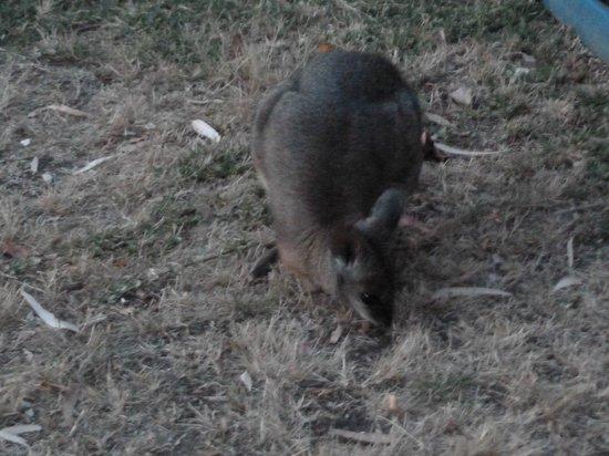 Kangaroo Island Gateway Visitor Information Centre : Tammar Walaby