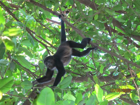 Hotel Arco Iris: I was officially in *monkey heaven* right in the tree's surrounding the hotel!
