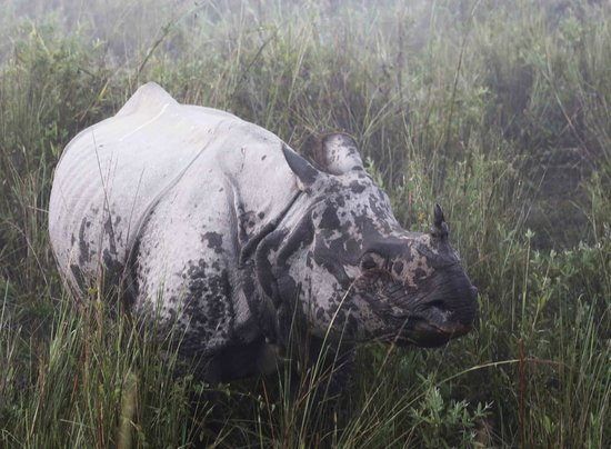 Kaziranga National Park, India: The one horned Rhino