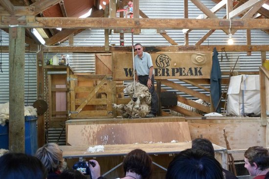 Real Journeys :                   Sheep shearing.