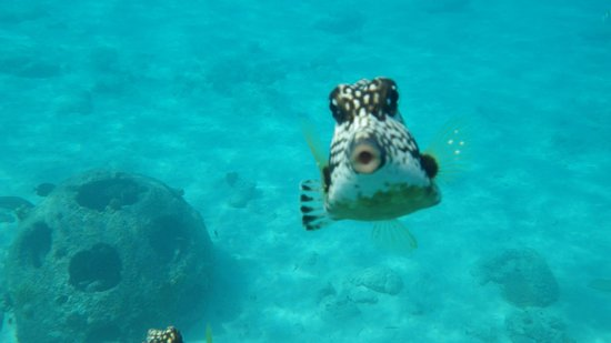 Sunscape Curacao Resort Spa & Casino: trunkfish
