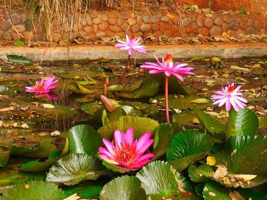 Bhadrakali Temple: Lotus pond beside the temple