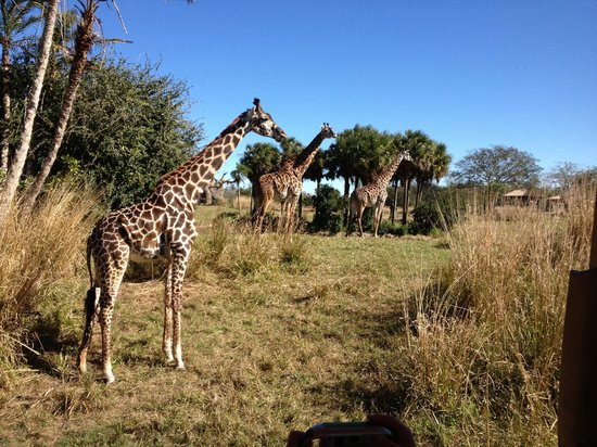Disney's Animal Kingdom Villas - Kidani Village: At the theme park not the hotel will you see giraffes in the winter