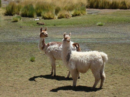 Awasi Atacama - Relais & Chateaux: Llamas at Machuca