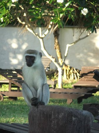 Diani Sea Lodge: Monkey at Diani Beach