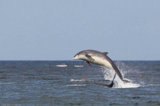 WDC Scottish Dolphin Centre: Bottlenose dolphin (Tursiops truncatus) Full breach. Spey Bay, Moray, Scotland