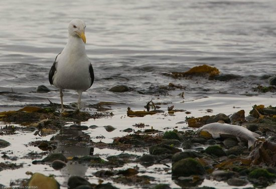 WDC Scottish Dolphin Centre: Great Black backed gull (Larus marinus) eyeing a fish which was probably killed by a grey seal.
