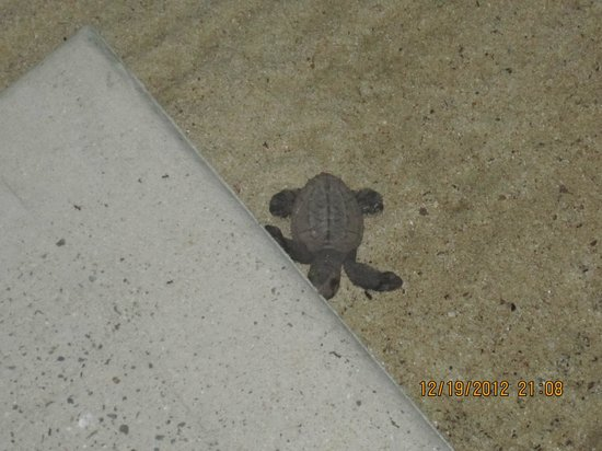 Galley Bay Resort: Baby sea turtle outside my room