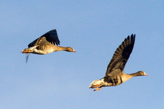 Sacramento National Wildlife Refuge: Greater White-fronted Goose