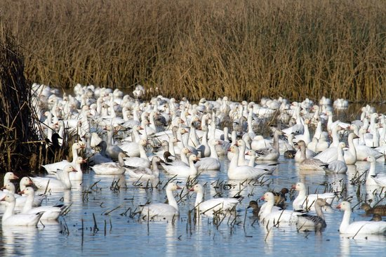 Sacramento National Wildlife Refuge: Snow Geese