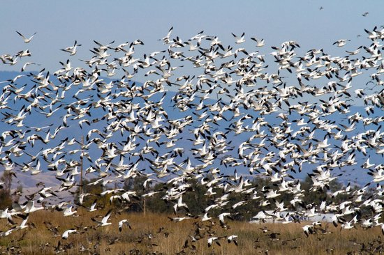 Sacramento National Wildlife Refuge: Snow Goose Lift-off