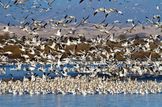 Sacramento National Wildlife Refuge: Snow Goose