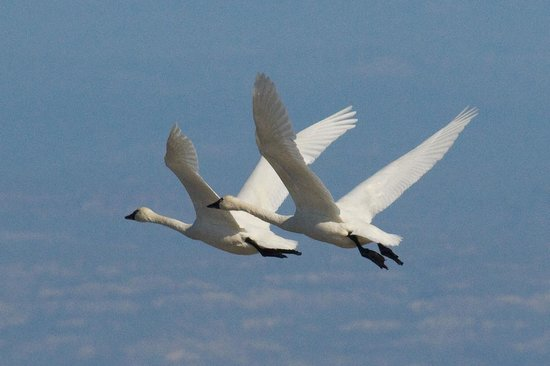 Sacramento National Wildlife Refuge: Tundra Swans
