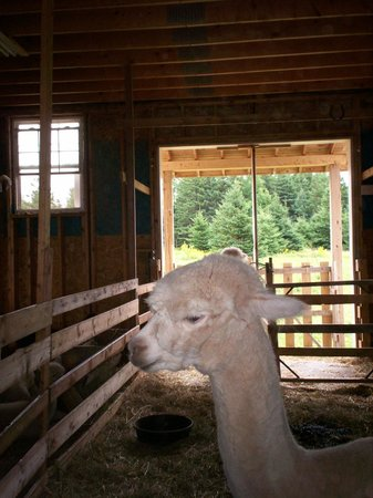 Red Roof Bed and Breakfast: One of the beautiful alpacas in the barn