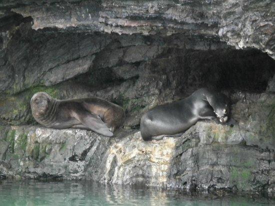 Channel of Last Hope (Ultima Esperanza): Sea lions