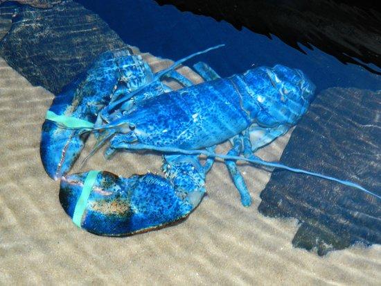 Adventure Aquarium: A rare blue lobster