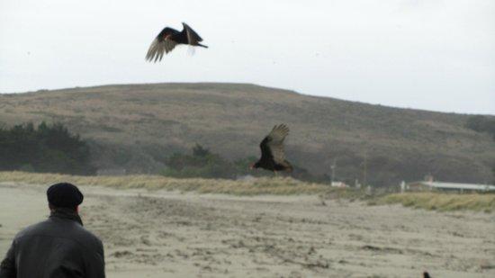 Doran Beach: Chasing Chcicken hawks on the beach