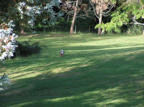 Waiarjipa Homestead: One of the 2 smart pigs in the farm